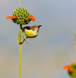 Female Purple Rumped sunbird. Royalty Free Stock Image