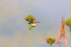 Female Purple Rumped sunbird. Stock Image