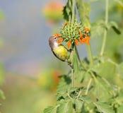 Female Purple Rumped sunbird. Royalty Free Stock Photo