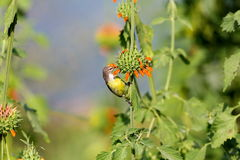 Female Purple Rumped sunbird. Stock Images