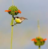 Female Purple Rumped sunbird. Royalty Free Stock Images