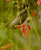 A female purple sunbird drinking nectar Stock Image