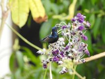 A male Purple Sunbird is feeding on nectar. Purple Sunbirds Cinnyris asiaticus is a small sunbird feed mainly on nectar. The male is glossy metallic bluish to Stock Photo