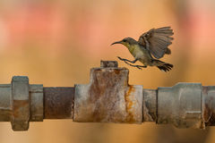 Female purple sunbird lands on metal pipe stock photography