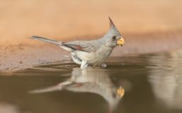 Female Pyrrhuloxia taking a bath in Southern Texas, USA Stock Photos