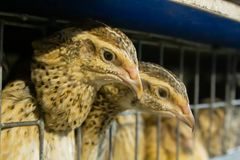 Female quail look out of the cage on the farm royalty free stock photo