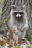 Female Raccoon Royalty Free Stock Photo