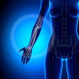 Female Radius / Ulna - Forearm - Anatomy Bones Royalty Free Stock Images