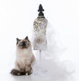 Female ragdoll kitten Royalty Free Stock Images