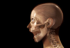 Female X Ray Head. A profile view of a see through female head Royalty Free Stock Image