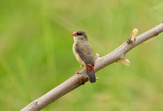 Female Red Avadavat Stock Photography