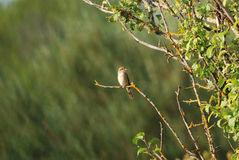 Female Red-Backed Shrike Stock Images
