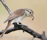 A female of red backed shrike hold a spider in beak. Stock Images
