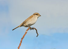A female of Red backed Shrike / Lanius collurio. A female of Red backed Shrike isolated on grey-blue background, Lanius collurio Royalty Free Stock Photography