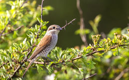 Female Red-backed Shrike Stock Image