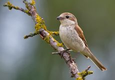 Female Red-backed shrike perched on a lichen tree branch. Red-backed shrike posing on a lichen branch royalty free stock photo