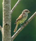 Female of red backed shrike Stock Images