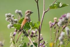 Female Red-Backed Shrike. Sitting on burdock Stock Image