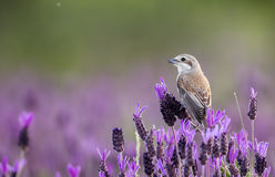 Female Red-backed Shrike on Spanish Lavender Stock Photo
