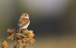Female Red-backed Shrike on a Thistle Stock Images