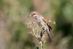 A female red backed shrike witn open beak sits on a slim branch. On a blurred background Stock Photos