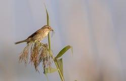 Female Red-backed Shrike Stock Photo