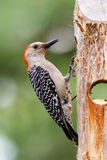 Female Red-bellied Woodpecker Royalty Free Stock Photos