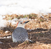 Female Red-bellied Woodpecker eating seed Royalty Free Stock Images