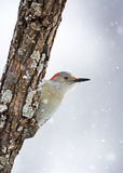 Female Red-bellied Woodpecker (Melanerpes carolinus) Royalty Free Stock Images