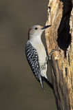 Female Red bellied Woodpecker (Melanerpes carolinus) Stock Photography