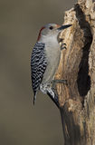 Female Red bellied Woodpecker (Melanerpes carolinus) Stock Image