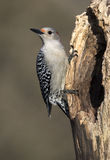Female Red bellied Woodpecker (Melanerpes carolinus) Stock Photo