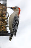 Female Red-bellied Woodpecker (Melanerpes carolinus) Stock Photography