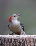 Female Red Bellied Woodpecker Stock Photo