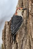 Female Red-bellied Woodpecker Melanerpes carolinusclinging to a stump. stock images