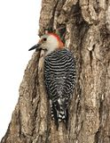 Female Red-bellied Woodpecker Melanerpes carolinusclinging to a stump. royalty free stock photos