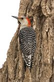 Female Red-bellied Woodpecker Melanerpes carolinusclinging to a stump. royalty free stock images