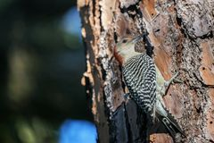 Female Red Bellied Woodpecker on a pine tree. The Red Bellied Woodpecker Melanerpes carolinus perches on a pine tree at sunrise and looks for her next meal royalty free stock photo