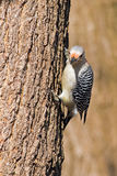 Female Red-Bellied Woodpecker Royalty Free Stock Photo