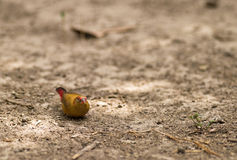 Free Female Red-billed Fire Finch Royalty Free Stock Photos - 18072118