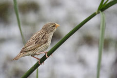 Female Red-billed Quelea Stock Photos