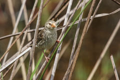 Female Red-billed Quelea Royalty Free Stock Image