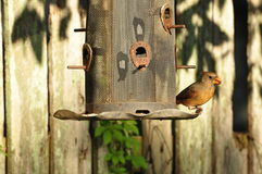 Female Red Bird. Female Cardinal eating bird seed Royalty Free Stock Image