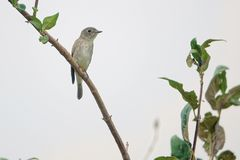 Red-breasted Flycatcher Royalty Free Stock Photos
