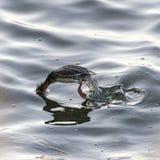 Female Red-breasted Merganser caught mid-dive. Female Red-breasted Merganser launching into dive on Acushnet River Stock Image