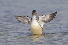 Female Red-breasted Merganser flapping its wings after preening Royalty Free Stock Photo