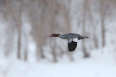 Female Red-breasted Merganser in Flight on a Snowy Day Royalty Free Stock Photography