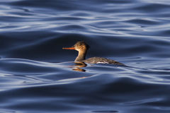 Female Red-breasted Merganser floating in the waters of the bay Stock Photo