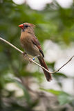 Female red cardinal Stock Images