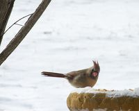 Female Red Cardinal Bird. Eating seeds in the snow on a cold winter day. Copy space stock photos